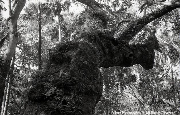 Burled Old Oak