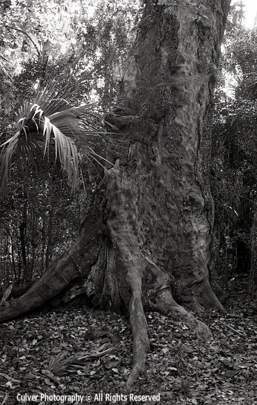 Lightning Oak